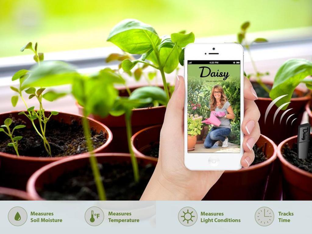 Daisy для комнатный растений